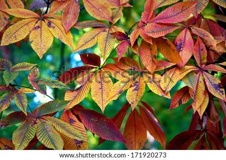 The leaves of a yellow buckeye tree form a beautiful autumn tapestry at The Morton Arboretum, Lisle, Illinois. - stock photo
