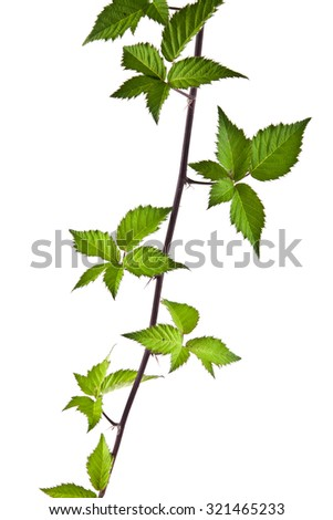 the leaves of blackberry are isolated on a white background - stock photo