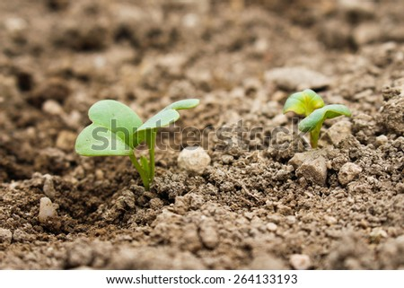The leaves of the radishes in the garden. Seedlings of radish. - stock photo