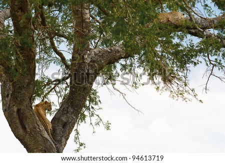 The leopard on a tree looking out for prey in Serengeti Nature Reserve in Tanzania, East Africa - stock photo