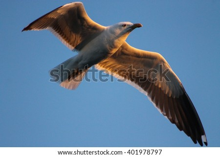 The Lesser Black-backed Gulls majestic flight. This Black-backed Gull flies into the sunset - stock photo