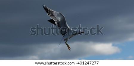 The Lesser Black-backed Gulls majestic pose. This Lesser Black-backed Gull poses for the photographer - stock photo