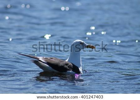 The Lesser Black-backed Gulls swim on a lake. This Lesser Black-backed Gull is swimming happily on a lake - stock photo