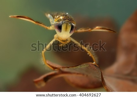 The lesser water boatman (Corixa punctata) captured under water. The water-dwelling insect close up on the brown leaf with green background. - stock photo