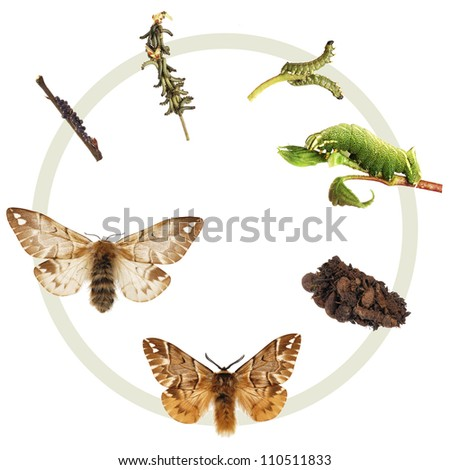 The life cycle of the Kentish Glory (Endromis versicolor), metamorphosis, showing all instars, egg, caterpillars cocoon (with chrysalis inside) and the adult male and female. - stock photo