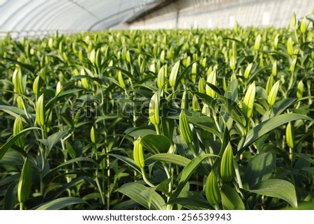 The lilies in The greenhouse, long very lush - stock photo