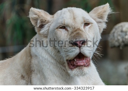 The lion is a species in the genus Panthera, and is closely related to other species in the same genus are: tiger, jaguar and leopard Panthera leo evolve in Africa. - stock photo