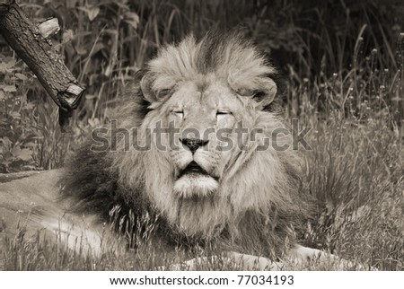 The lion is one of the four big cats in the genus Panthera, and a member of the family Felidae. With some males exceeding 250 kg in weight, it is the second-largest living cat after the tiger. - stock photo