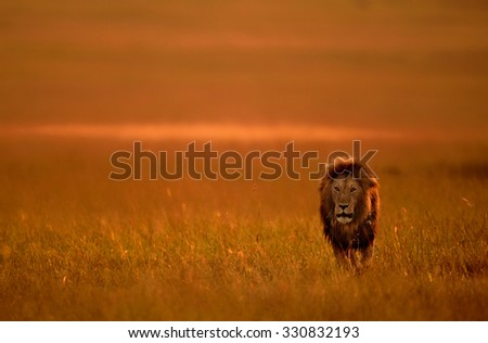 THE LION KING - stock photo