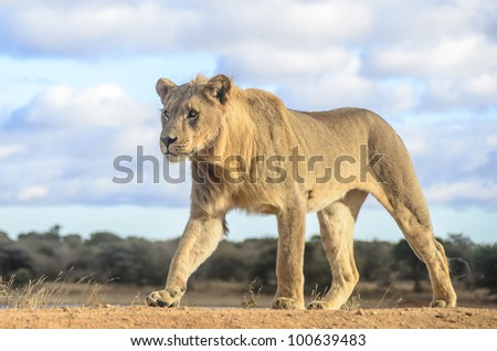 The lion (Panthera leo) was on a dam wall in Madikwe Game reserve South Africa and our vehicle was below the wall. - stock photo