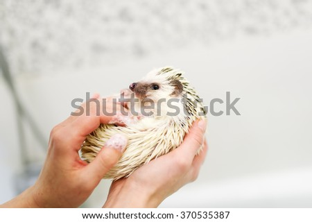 The little African hedgehog is in hands - stock photo