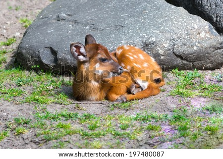 The little deer is on ground with poor grass - stock photo