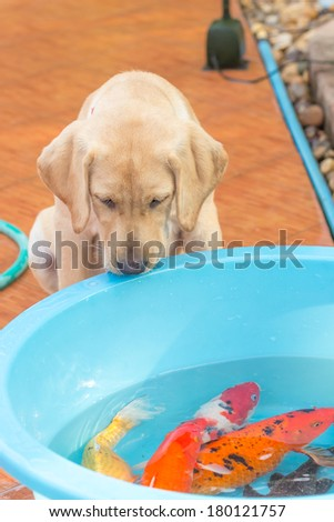 the little dog looking to the koi in the pond - stock photo