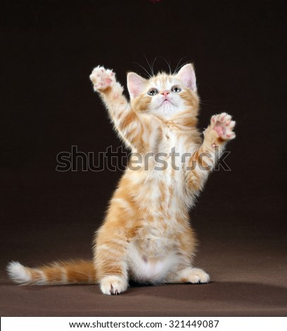 The little orange kitten playing while standing on its hind legs - stock photo