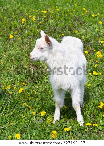 The little white goat posing in profile on green meadow - stock photo