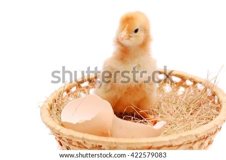 The little yellow chicken nests near an egg-shell. - stock photo