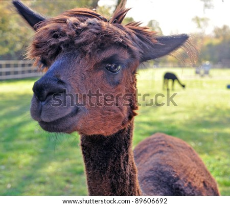 The llama is a South American camelid - stock photo
