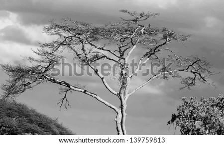 The lofty trees in Serengeti National Park - Tanzania (black and white) - stock photo