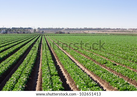 The long straight rows of green lettuce grow in the Arizona desert stretching off to the horizon where trucks of field workers harvest This precision is achieved using lasers - stock photo