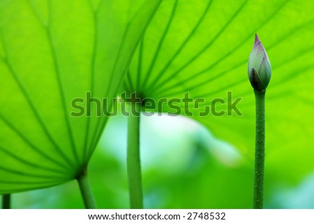 The lotus blossom and the lotus pads (leaves) - stock photo