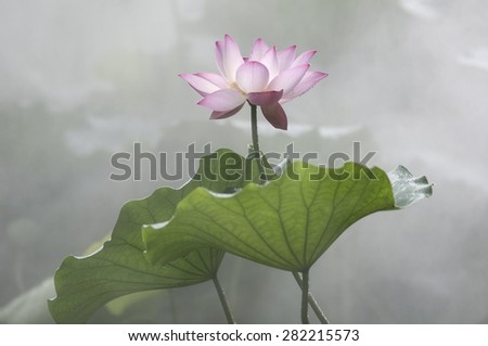 The lotus pond in the morning fog - stock photo