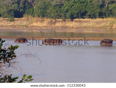 The Luangwa river, in the South Luangwa national park, Zambia has one of the largest hippopotamus populations on Earth - stock photo