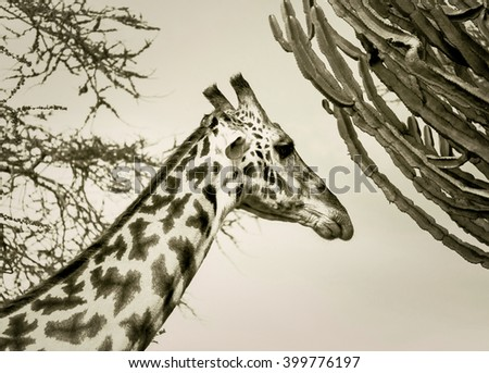 The Maasai giraffes in the Crater Ngorongoro National Park - Tanzania, Eastern Africa (stylized retro) - stock photo