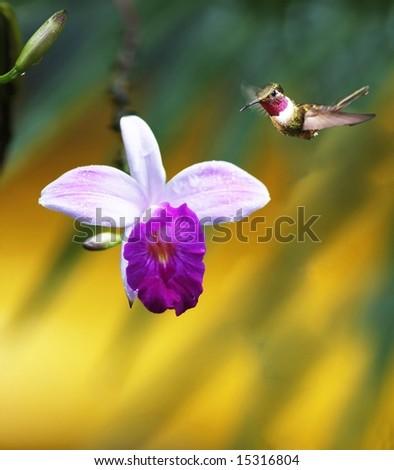 The Magenta-throated Woodstar (Calliphlox bryantae). Costa Rica - stock photo