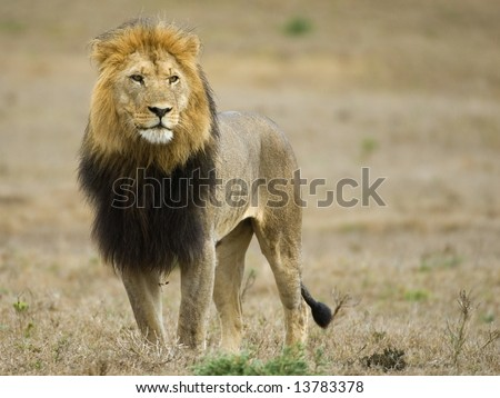 The magnificent male lion called Bitterbal at Addo National Park - stock photo