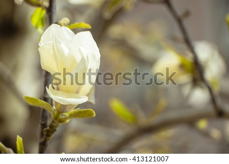 The Magnolia flower (Magnolia acuminata) beginning to bloom. White magnolia flower blooming. Place for your own text. Unopened bud of magnolia flower in start of life. Focus on flower. Starts to open. - stock photo