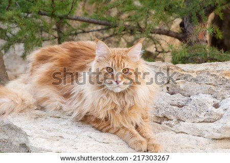 The Maine Coon cat, also known as American Longhair, is the biggest domesticated breed of cat with a distinctive physical appearance and high level hunting skills - stock photo
