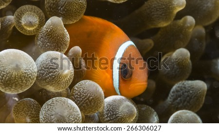 The Maldive anemone fish is characterized by its rusty orange color with a single white stripe running vertically just behind the eye. This species typically lives in small groups on reef slope. - stock photo