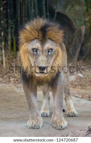 The male lion. - stock photo