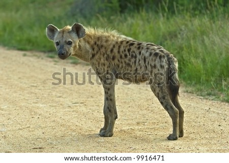 The male Spotted Hyena is smaller than the Female - stock photo