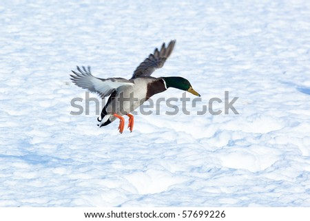 The Mallard (Anas platyrhynchos) is in a city park. Bird in fly. - stock photo