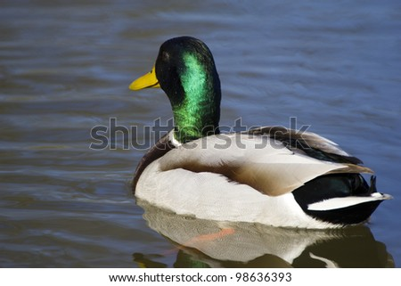 The Mallard or Wild Duck (Anas platyrhynchos) - stock photo