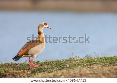 The Mallard or Wild Duck is a dabbling duck. - stock photo