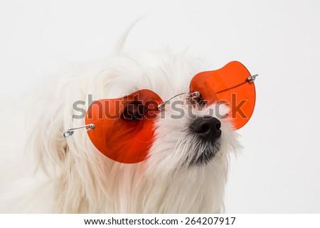 The maltese puppy dog on white background - stock photo