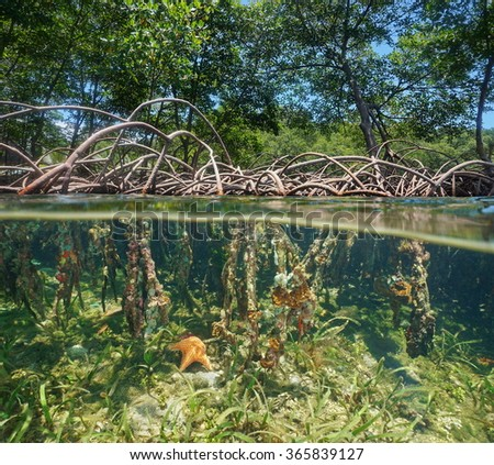 The mangrove with tree roots above and underwater split by waterline, Caribbean sea - stock photo