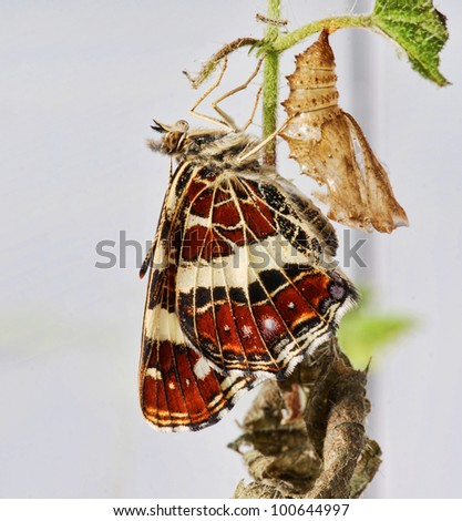 The map butterfly  (Araschnia levana f. prorsa). Summer  form of the dimorph butterfly. Newly hatched sitting on the chrysalis. - stock photo