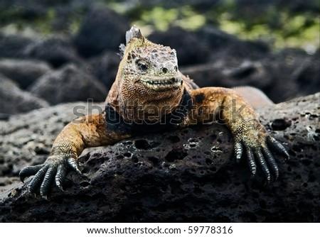 The marine  iguana poses. / The marine  iguana poses on the black stiffened lava. - stock photo
