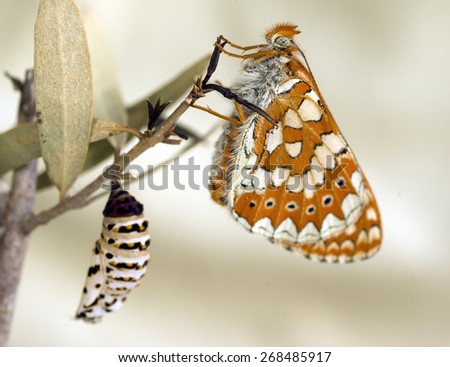 The Marsh fritillary (Euphydryas aurinia) Butterfly and cocoon - stock photo