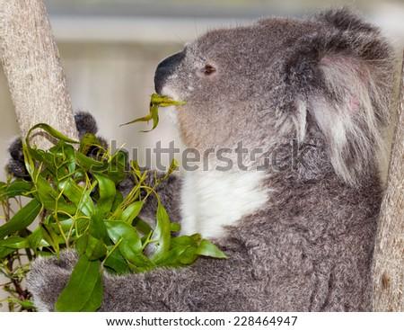 the marsupial koala who only eats gum leaves - stock photo