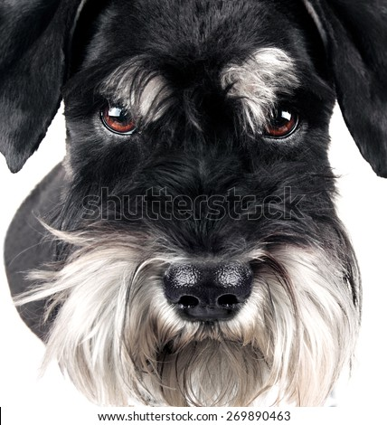 The miniature black and silver schnauzer face closeup - stock photo
