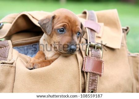 The Miniature Pinscher puppy, 1 months old - stock photo