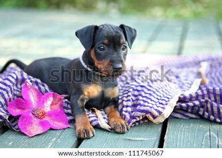 The Miniature Pinscher puppy, 1,5 months old - stock photo