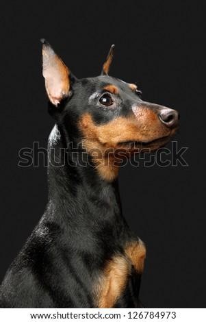 The Miniature Pinscher puppy, 6 months old - stock photo