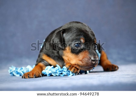 The Miniature Pinscher puppy, 3 weeks old - stock photo
