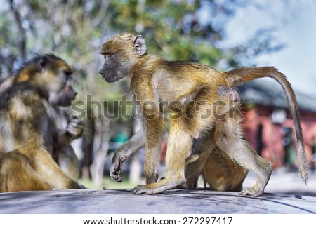 The monkeys on the roof of tourist car near Victoria falls, Zambia - stock photo