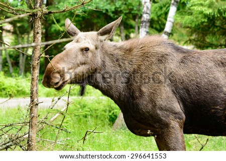 The moose, Alces alces, is the largest living deer. Female close up. This one is looking at you. - stock photo